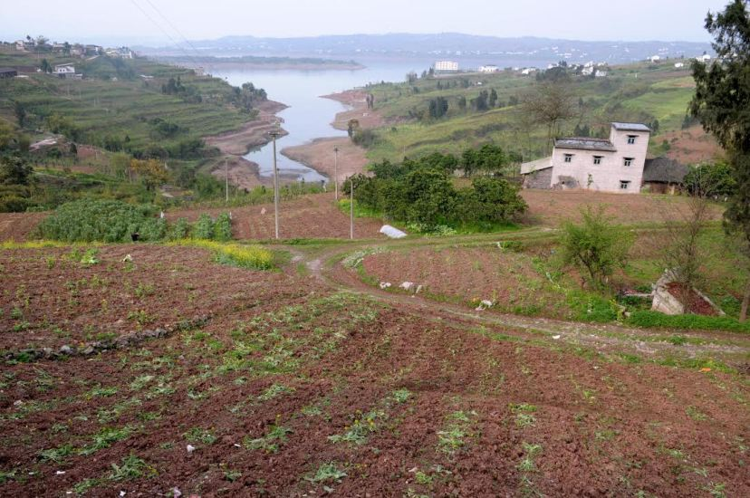 Mustard growing on the slopes along the Yangtze in Baisheng Town in Fuling City, by Fan Xiao, March 2012.