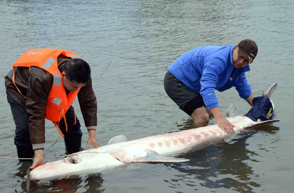Experts attempt to rescue an injured wild Chinese sturgeon on the Yangtze River on Nov 25. Below: A 1.5meterlong wild Chinese sturgeon is pulled from the river in Nanchang, Jiangxi province, in May.CHENG LONGMEI / XINHUA AND LIU BAOPING / FOR CHINA DAILY